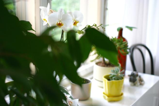 valkoinen orkidea
