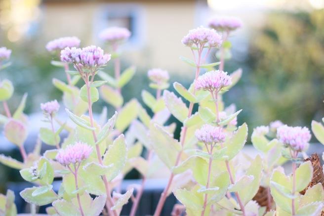 kaunis kasvi, maksaruoho
