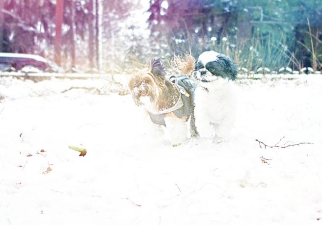 koirat leikkii