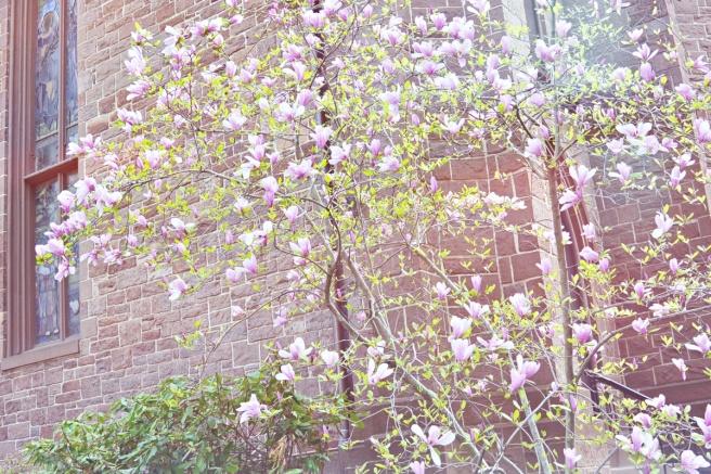 kukkiva magnolia