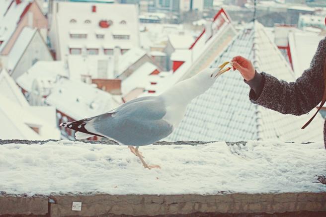 Tallinnan vanhakaupunki, lokki