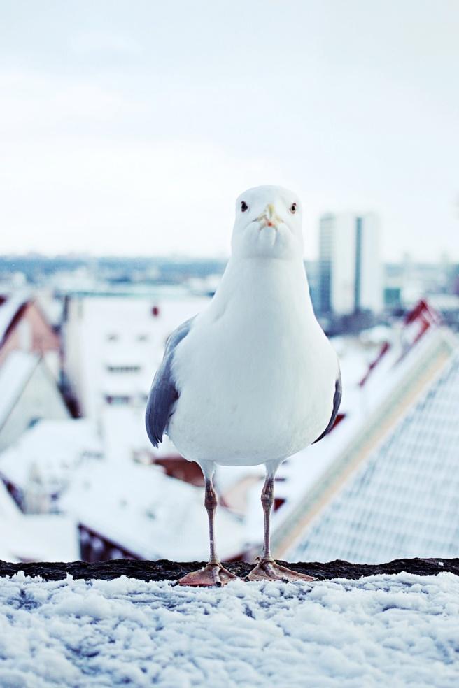 seagull in tallinn