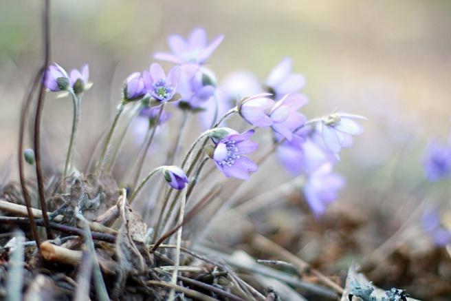lila, sinivuokkoja