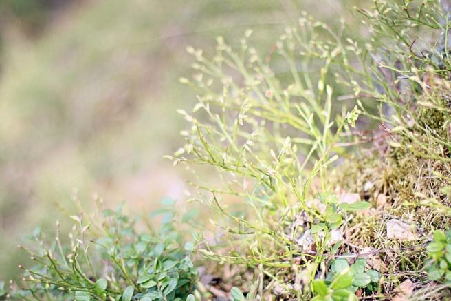 mustikat
