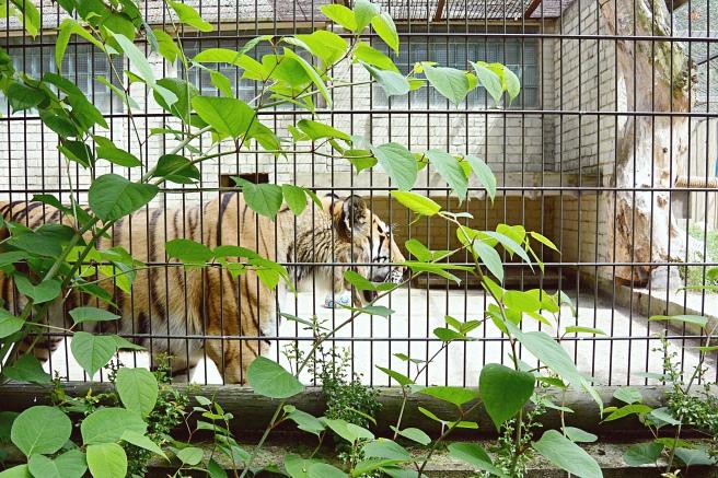 tiikeri tallinna