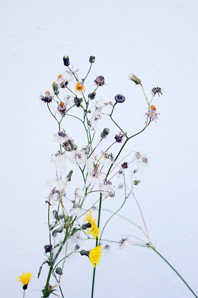kuivuneita kukkia