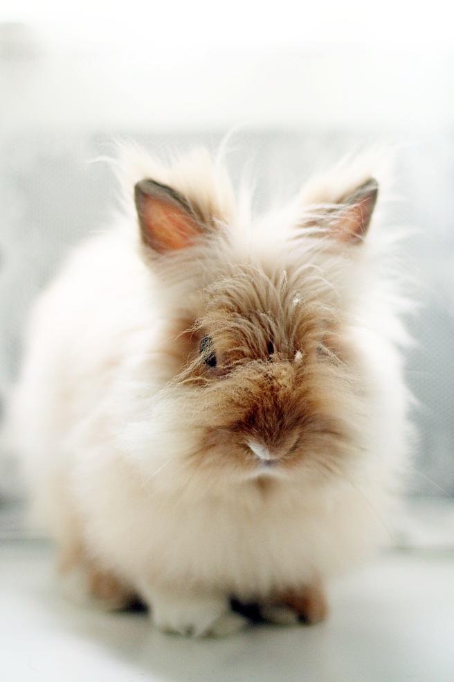 kääpiö teddy kani
