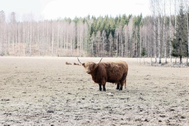 ylämaan karjaa